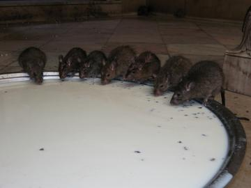 Rats drinking from a milk bowl